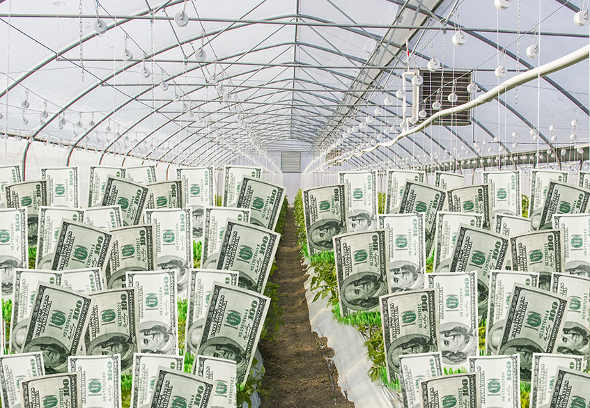 Growing Greenbacks in Greenhouses in Paraguay